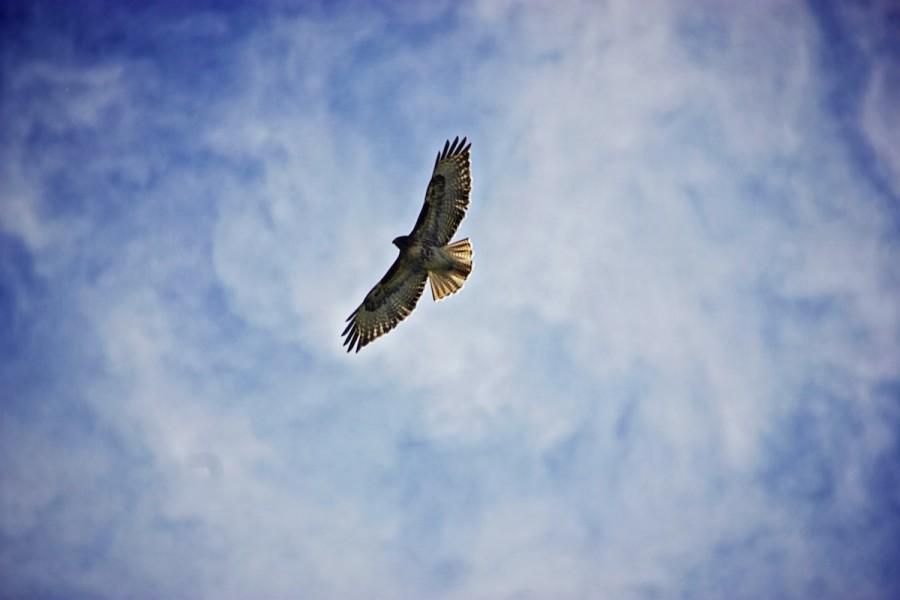 A hawk soars over Walla Walla.