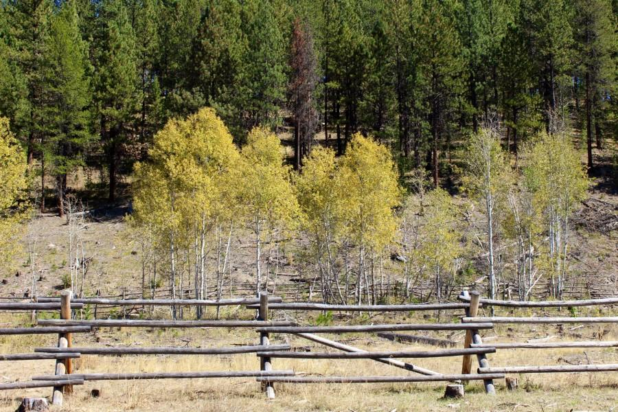 This is a photo of one of the exclosures we worked in.  With the era of fire suppression came and over abundance of coniferous trees in the arid forests of Eastern Oregon.  They conifers crowded out deciduous trees like alders and willows, prime species for riparian zones (the area of land that surrounds a body of water).  Coupled with grazing and the trapping of beavers, creeks are not doing so well.  By cutting down a few conifers and fencing in the alders to protect them from grazing animals, Fouty is trying to reestablish alder populations, and we were helping her track the growth.  In just one of the zones we measured, alder suckers had doubled since 2012 to over 2500 suckers.