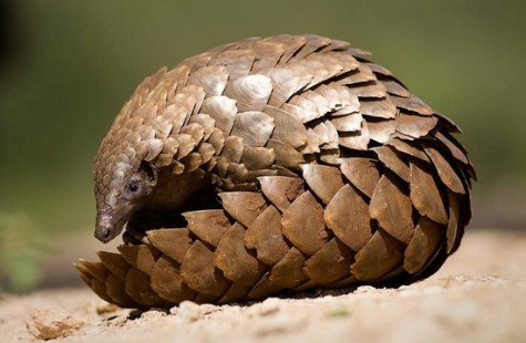 The Pangolin aka The Walking Artichoke