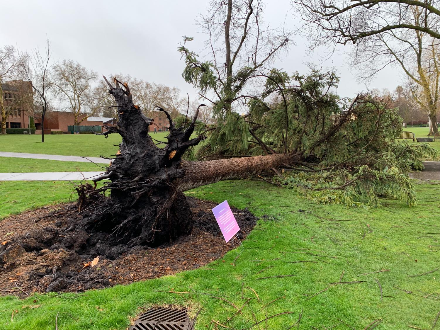 Tree Falls Outside Of Penrose Library Whitman Wire