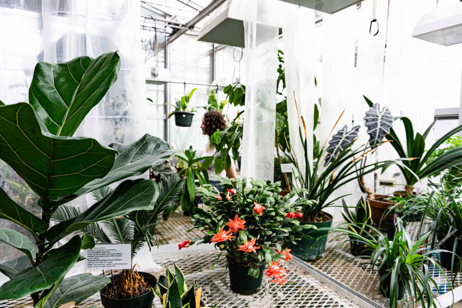 The greenhouse open house, which occurred on Feb. 7, was curated by biology students and professors with the intent to display the educational importance of the greenhouse. Photos by Amara Garibyan
